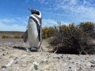 Penguin Punta Tombo