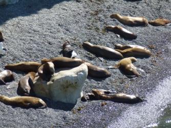 sea lions Pta Lomo near Pto Madryn