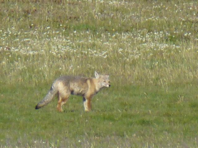 fox on my way to Pta Arenas