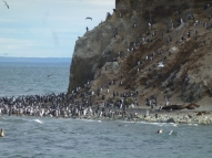 cormorans, no penguins