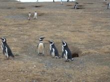 Magellanic Penguines