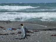 king penguin at the sea