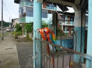 2 macaw of the major in Pilcopata