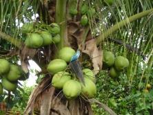 blue bird in Pilcopata