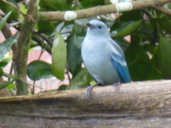blue bird in Pilcopata