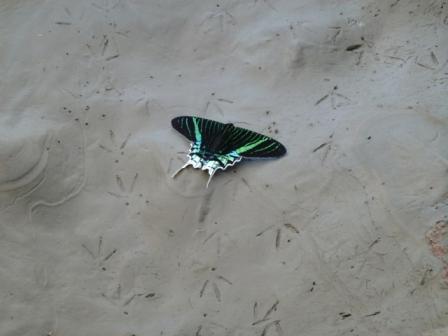a moth not a butterfly