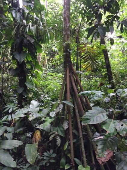 mehrstämmiger Baum