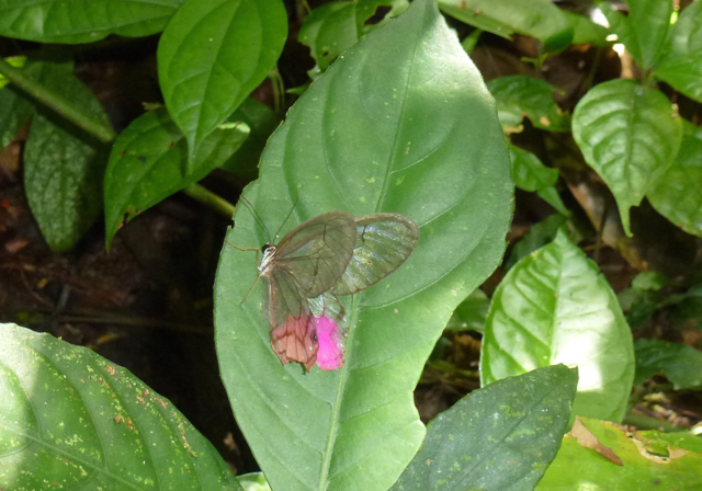 greta morgane butterfly