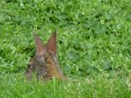 rabbit in El Cajas National Park