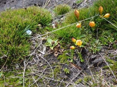 Andean tulip in El Cajas National Park