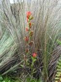 Andean flower in El Cajas National Park
