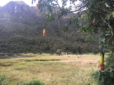 Andean trumpet flower in El Cajas National Park