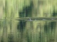 Andean Ruddy Duck in El Cajas National Park