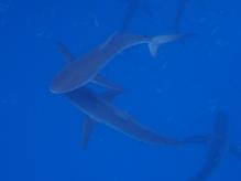 sliky sharks Seidenhaie