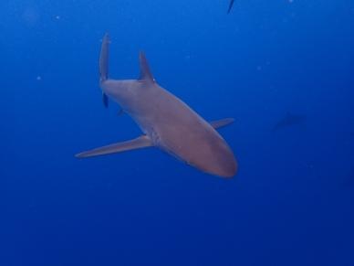 sliky shark Seidenhai