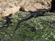 Marine Iguanas and sea lion