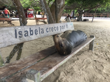 sea lion Isabela