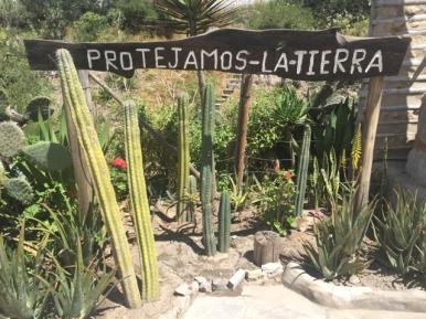 cactus San Pedro Museo Intiñan